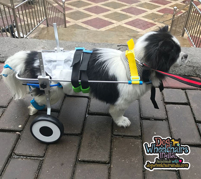 Mintbowl dog wheelchairs India Customer photos